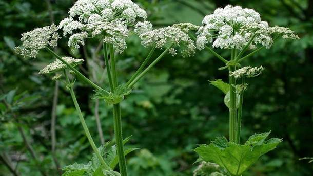 Борщівник отруйна рослина – чому не можна чіпати борщівник