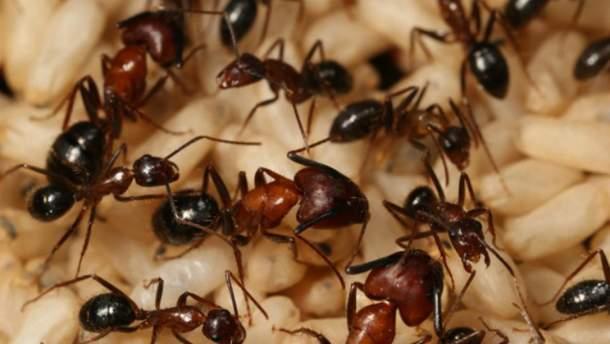 Лікувальні властивості мурах