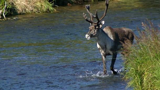 В Запорожье сняли на видео, как олени плавали в Днепре