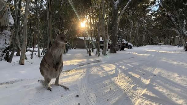 Снег в Австралии в августе 2019 – видео как кенгуру прыгают по снегу