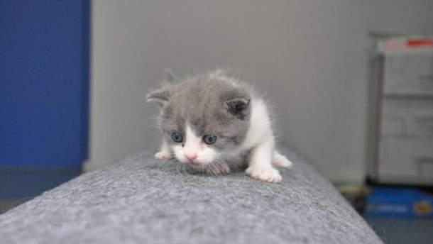 Клонированный котенок