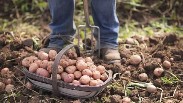 Как безопасно копать картошку