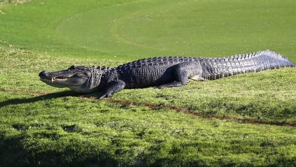 Гигантский аллигатор вылез на поле для гольфа, но бесстрашный спортсмен продолжил игру : видео