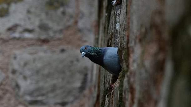 Лучшими шпионами оказались голуби