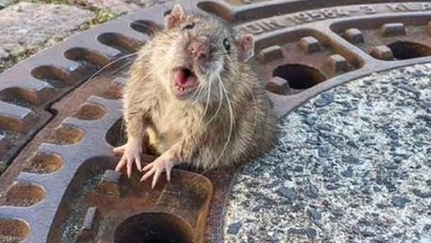У київському супермаркеті помітили щурів