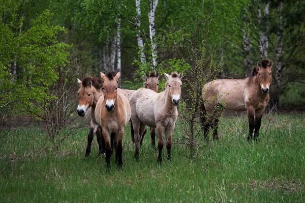 Коні Пржевальського в Чорнобилі