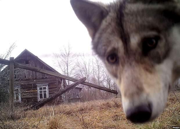 Вовк у Чорнобилі