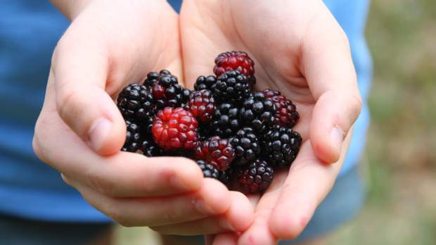 Ожина, як й інші ягоди, багата великою кількістю вітамінів і корисних речовин