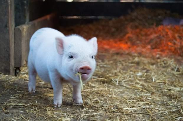 Свинка оценит ваши старания