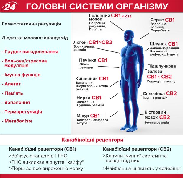 Ендоканабіноїди в людському організмі