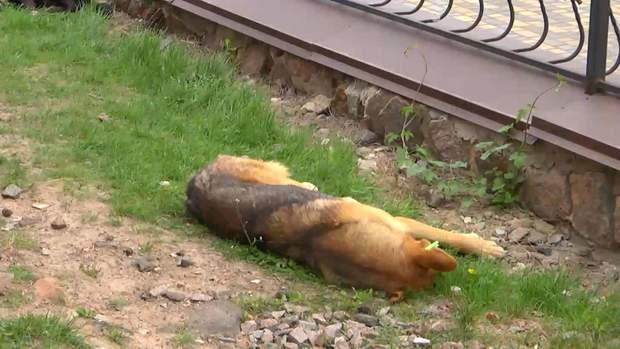 У собак порушується координація, а потім настає смерть