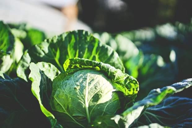 Білокачанна капуста допоможе вивести з кишечника токсини
