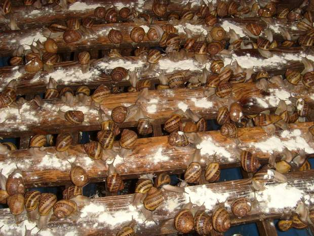 Вирощування равликів на фермі