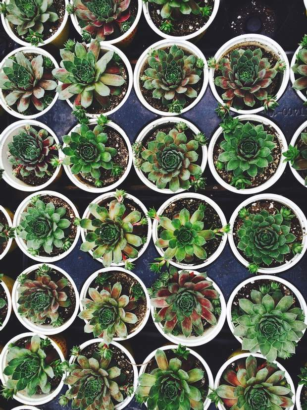 сукуленти рослини вдома