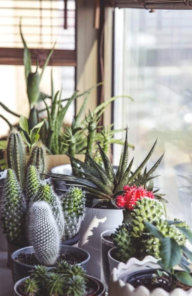 рослини кактуси поради