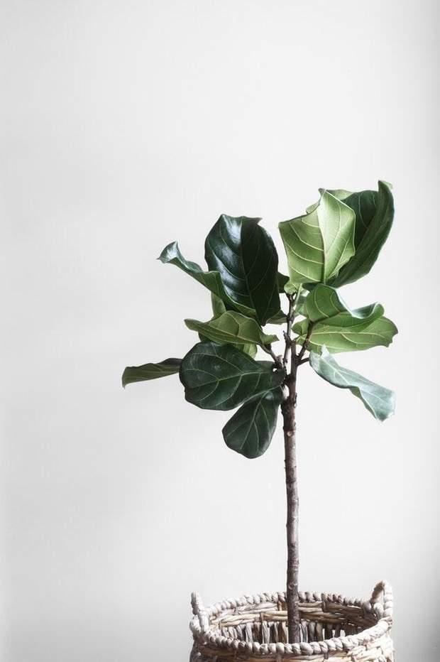 рослини фікус квартира