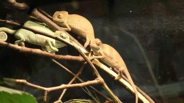 Черкаський зоопарк хамелеони