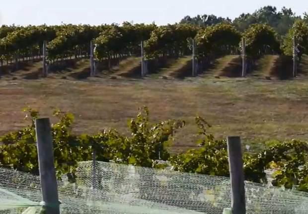 Вирощення винограду