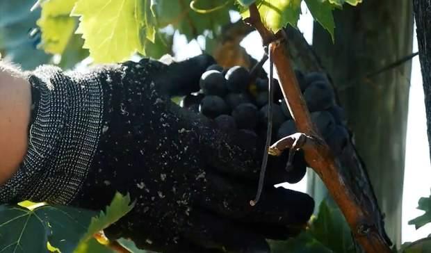 Збір плодів винограду для виробництва вина