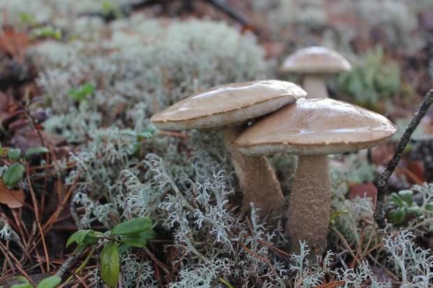 Споживання грибів позитивно впливає на роботу серцево-судинної системи
