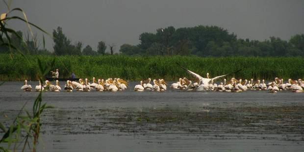 Рибалка поблизу пеліканів