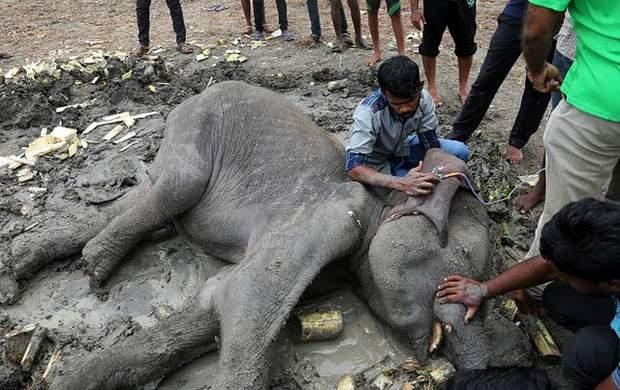 Охоронці дикої природи рятують слона на Шрі-Ланці
