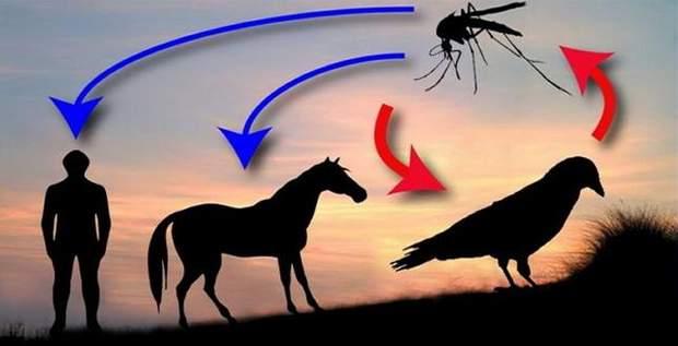 Зараження вірусом відбувається через укуси комара