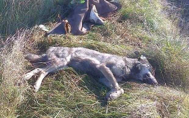 Вовка вбили мисливці наступного дня