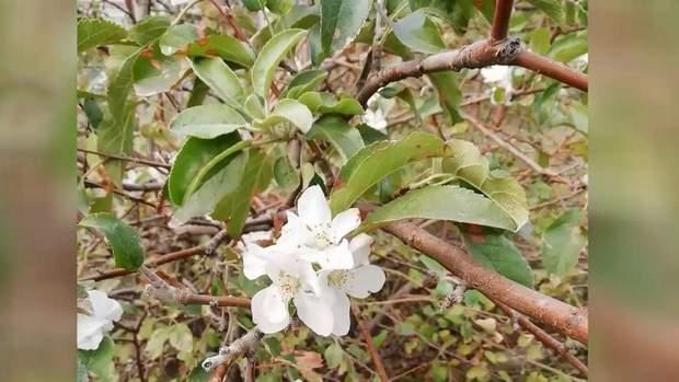 запоріжжя зацвіли яблуні