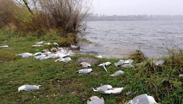 Масова загибель птахів біля Тернопільського озера