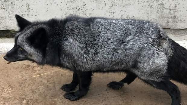 срібляста лисиця, великобританія