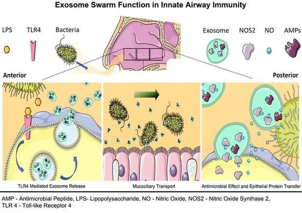 Як ніс захищає людину від бактерій
