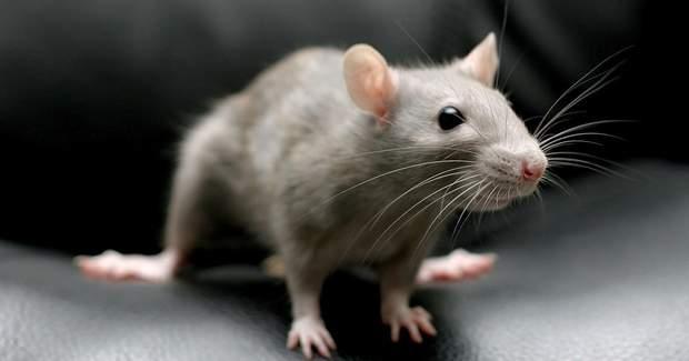Представителям знака Крыси вероятно не повезет