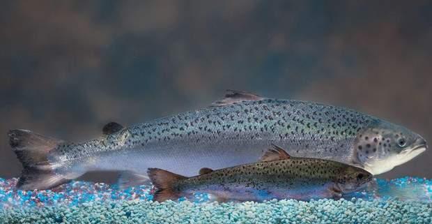 Штучно вирощена риба може зашкодити вашому організму