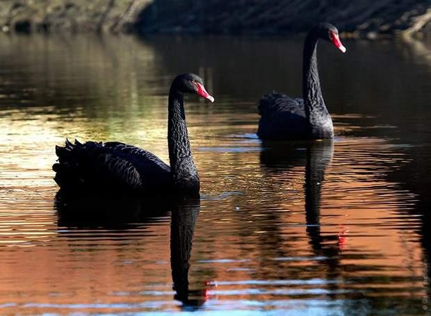 Чорні лебеді