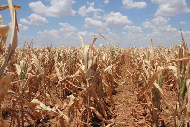 Из-за сильной засухи погибли зерновые