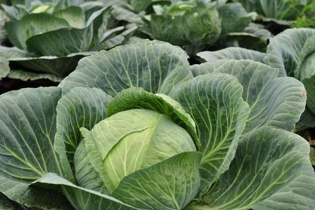 Білокачанна капуста містить багато нітратів
