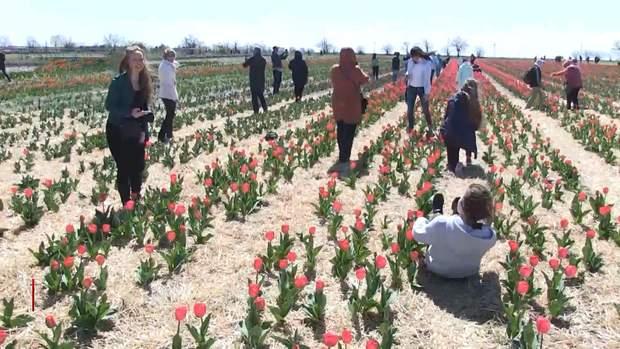 мініГолландій Херсон тюльпани