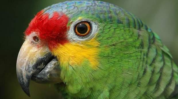 Попугай помогал банде наркоторговцев