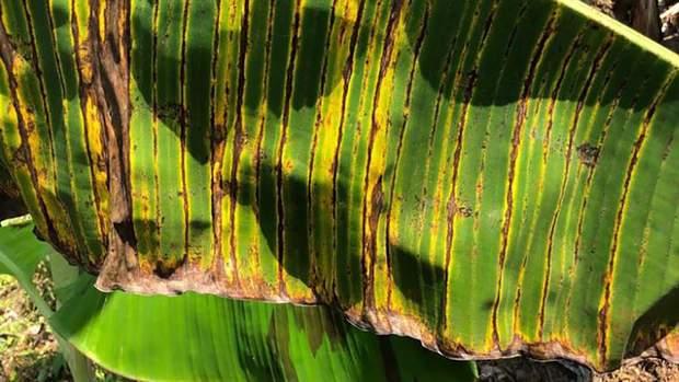 банани грибок інфекція