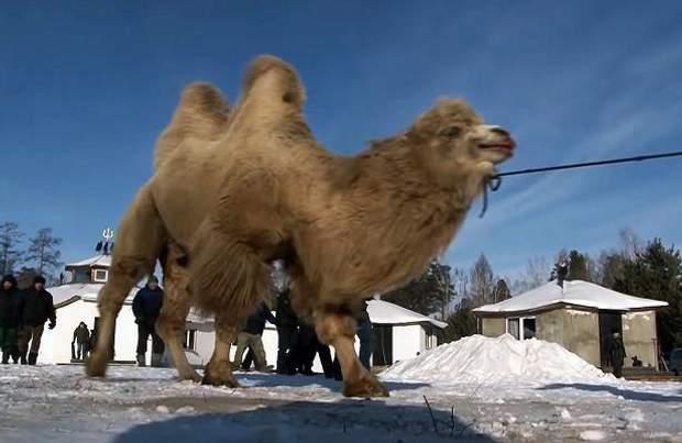 Жертвопринесення верблюдів в Іркутську