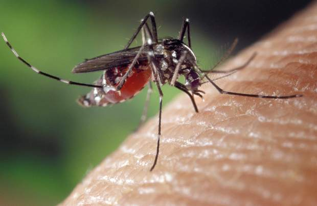 Грибок знищив 99% усіх комарів