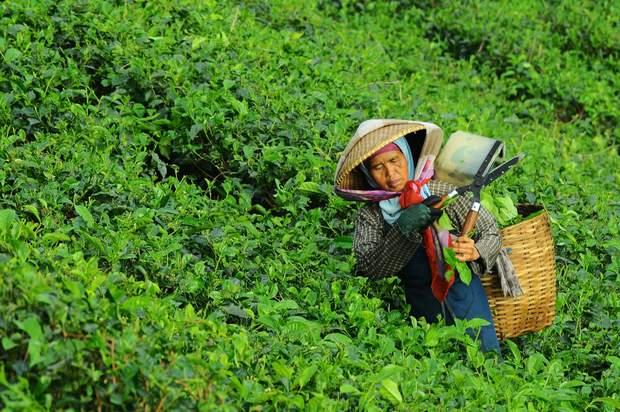чайні плантації