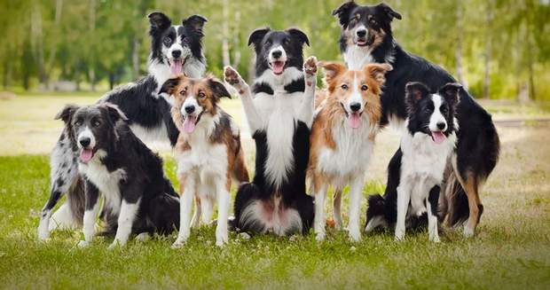 собаки господарі стрес бордерколлі