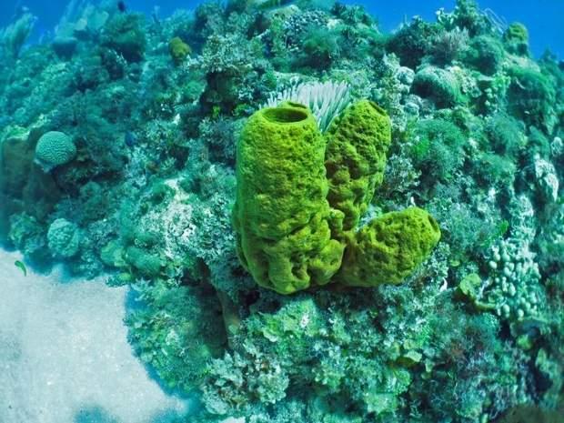 Галіхондрин добувають з морських губок