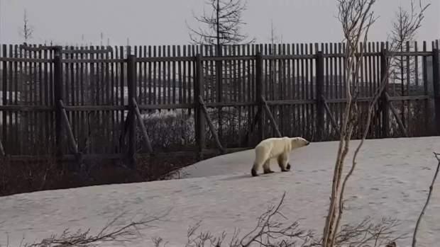 ведмідь росія