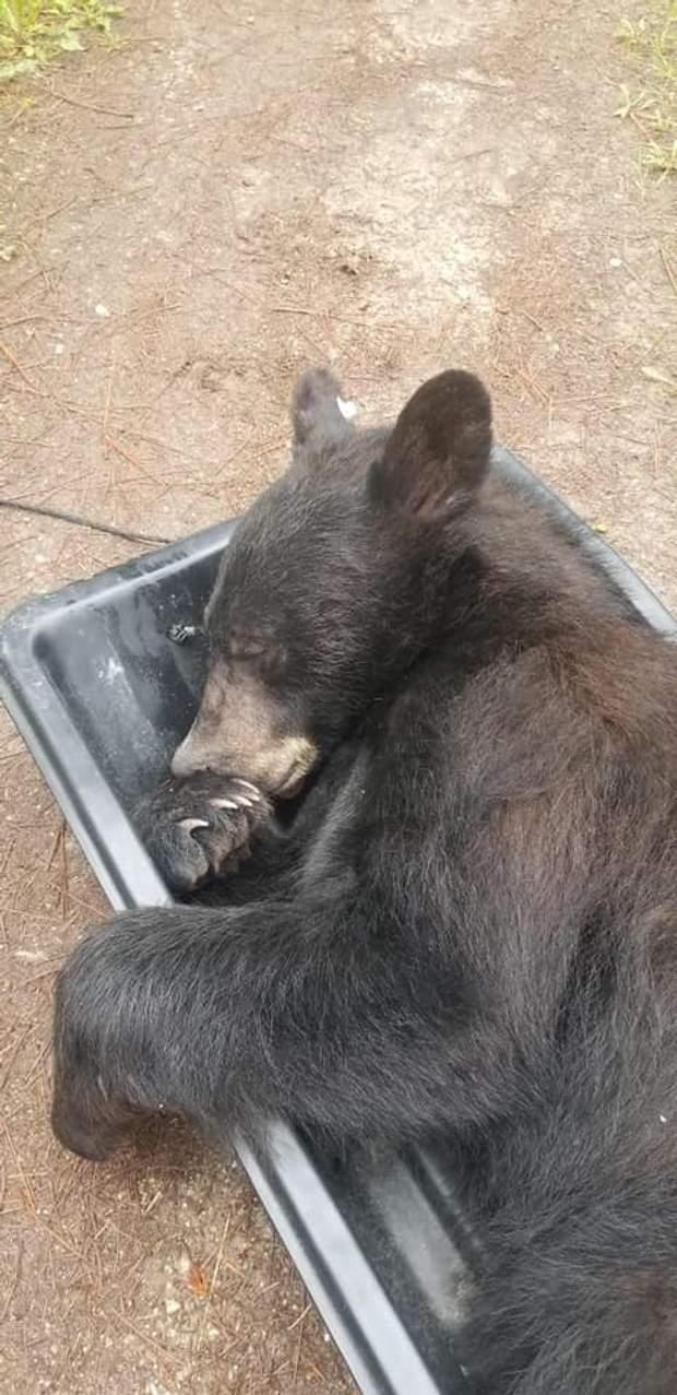 ведмідь сон шафа сша