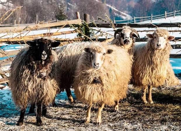 Карпатська високогірна вівця