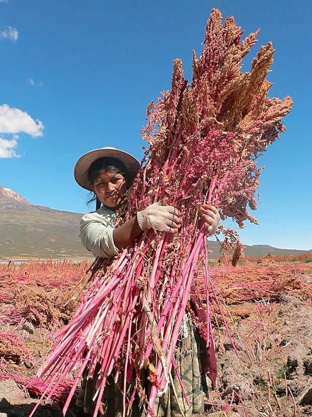 Збір рослини кіноа в Андах