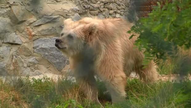 Ведмедиця